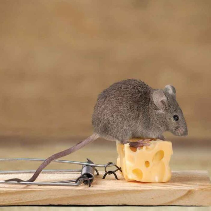 Get to know more about rodents and their treatment