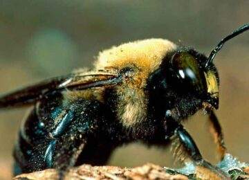 HOW DO CARPENTER BEES AFFECT US